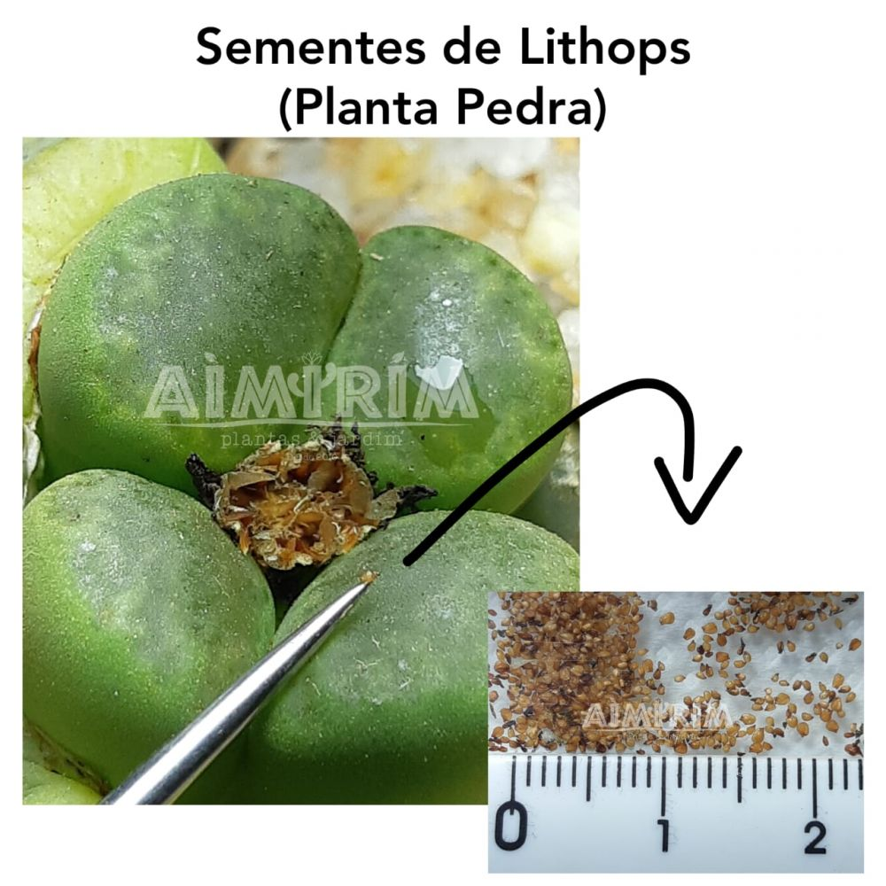 100 sementes de Lithops MIX