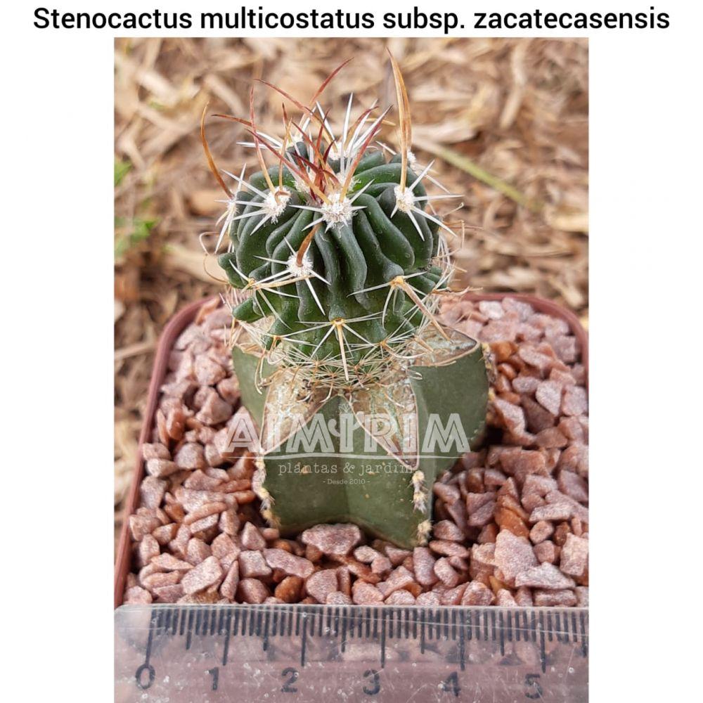 Stenocactus multicostatus subsp. zacatecasensis - Uma planta enxertada