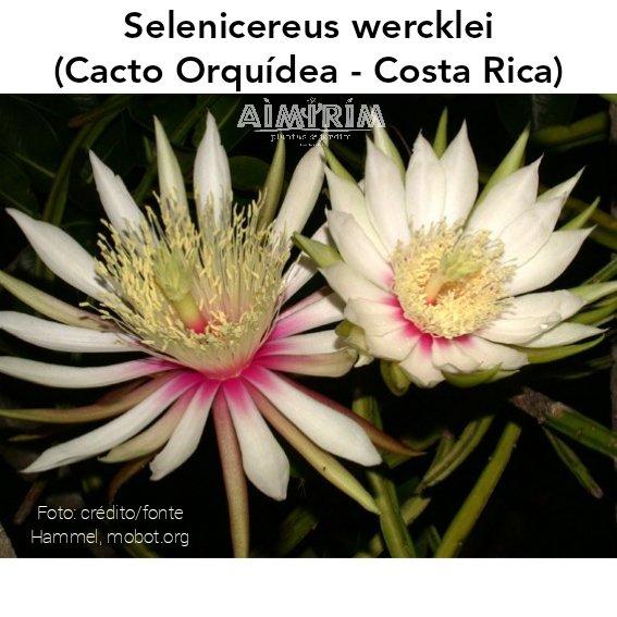 Planta Selenicereus wercklei - Cacto Orquídea